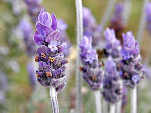 250pxsingle_lavendar_flower02